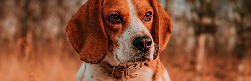 Wo Beagle draufsteht, ist auch Beagle drin?